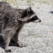 Raccoon (Procyon lotor) — Photo