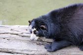 Spectacled Bear — Stock Photo