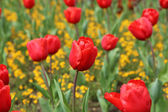 Spring Tulips — Photo