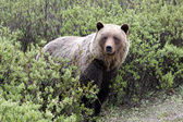 Grizzly (ursus arctos horribilis) — Stock Photo