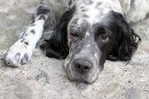 Leniwy pies — Zdjęcie stockowe