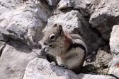 Golden Mantled Ground Squirrel — Stock Photo