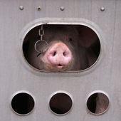 Pig's Transport — Stock Photo
