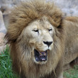 Asian Lion - Stock Photo