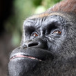 Gorilla — Stock Photo #10290103