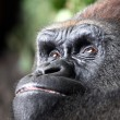 Gorilla — Stock Photo