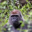 Gorilla — Stock Photo #10290125