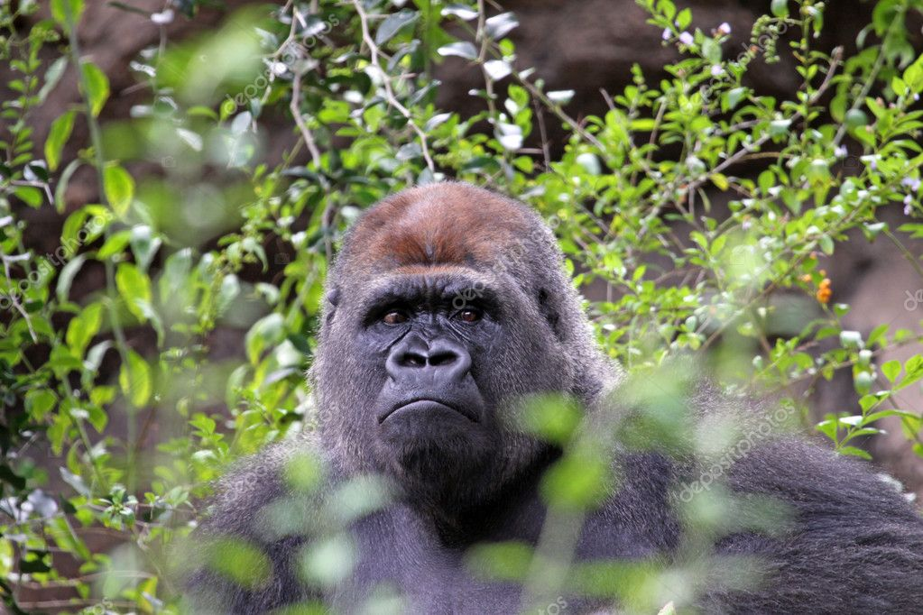 Portrait of a male Gorilla — Stock Photo #10290125