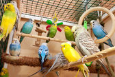Multicolored budgies sitting in cage — Stock Photo