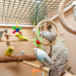 Budgies — Stock Photo