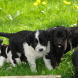 Puppies - Stock Photo