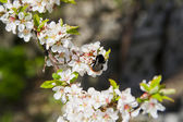 Blossoming tree brunch with white flowers on natural background with bees — Stock Photo