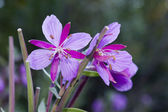 Dwarf fireweed — Stock Photo