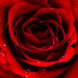 Red rose — Stock Photo #9451828