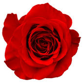 Rote Rose — Stockfoto