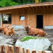 Buffalo near the barn — Stock Photo