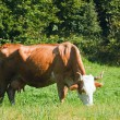 Cow on summer meadow — Stock Photo