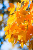 Autumn maple trees in park — Stock Photo
