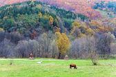 Krávy na pastvě — Stock fotografie