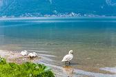 Cisnes no lago de verão — Foto Stock