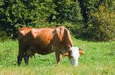Kuh auf der sommerwiese — Stockfoto
