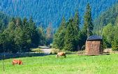 夏の草原の 2 頭の牛 — ストック写真