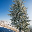 Grand winter fir - Stock Photo