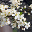 Blossoming twig — Stock Photo