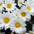 Stock Photo: Daisys (5)