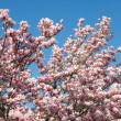 Magnolia-tree — Stock Photo #7995983