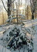 Winter fir — Stock Photo