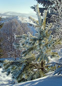 Winter rime pine — Stock Photo