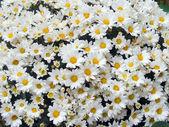 Daisys (2) — Stock Photo