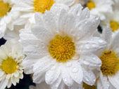 Daisys (3) — Stock Photo