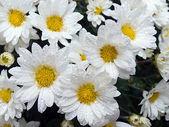 Daisys (5) — Stock Photo