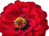Red flower (1) — Stock Photo