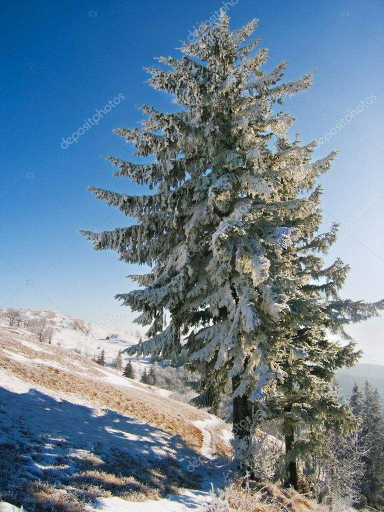 Winter freeze and snow-covered  big fir-tree on mountainside with sparkling in the sun rays snow in the background — Stock Photo #7994768