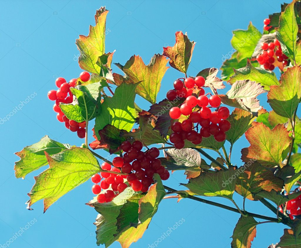 Twig of a snowball tree with clusters of red berrys (on a sky background) — Stock Photo #7994827