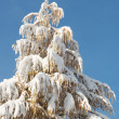 Winter coniferous tree — Stock Photo