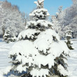 Stock Photo: Winter fir