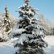 Winter fir — Stock Photo #8002900