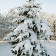 Winter fir — Stock Photo #8002963