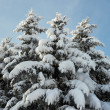 Winter firs — Stockfoto