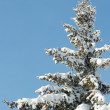 Winter fir — Stock Photo