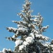 Winter fir — Stockfoto