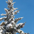 Winter fir — Stock Photo #8003160