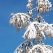 Winter coniferous tree — Stock Photo #8003228