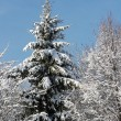 Winter fir — Foto Stock