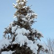 Winter fir — Stock Photo #8003376