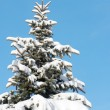 Winter fir — Stock Photo #8003424